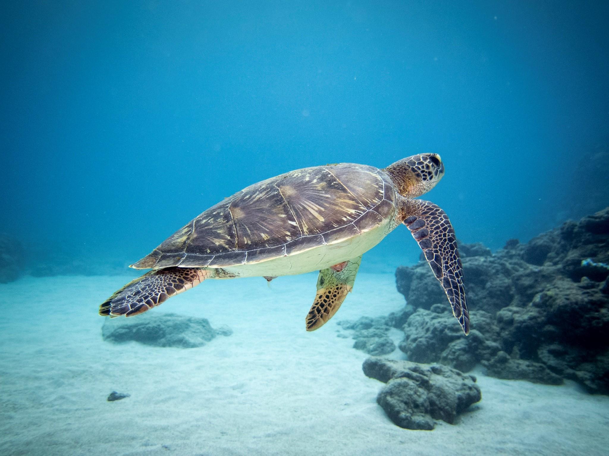 Plongeuse tortue dans l'eau